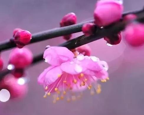 梅花,一种安静、清雅的花。